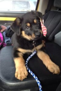 rottweiler german shepherd mix