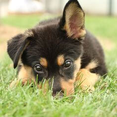 shepweiler DOG