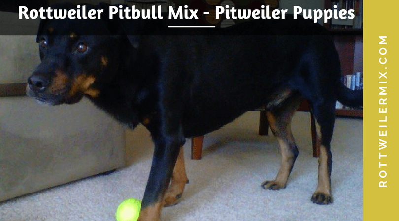 Rottweiler Pitbull Mix – Pitweiler Puppies Information