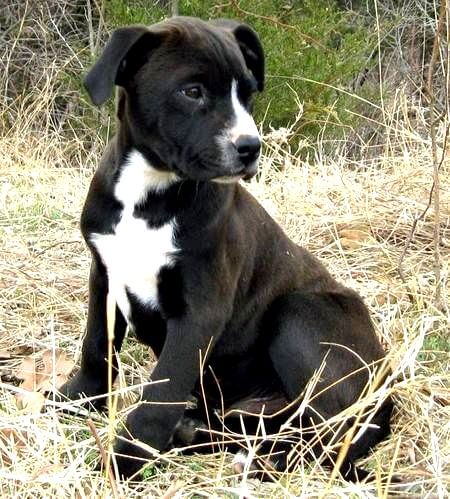 Rottweiler Pitbull Mix Pitweiler Puppies Information