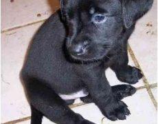Labrador-Retriever-Rottweiler-Mix-Puppy
