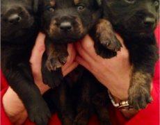 Labrottie-Puppies Pic