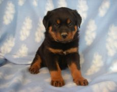 Labrottie-Puppy-Picture