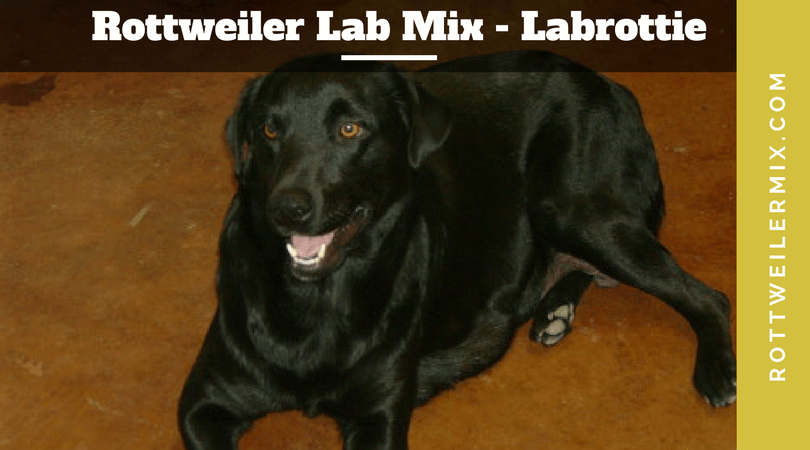 Rottweiler Lab Mix Labrottie Puppies Information And Pictures