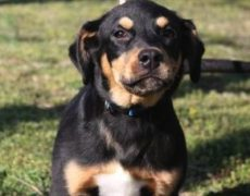 Rottweiler Lab Mix Puppy