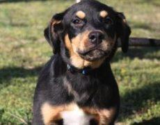 Rottweiler Lab Mix Puppy